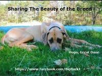 Big Bark loves all of our big dog breeds. Check out each board for great photos of large breed dogs. #greatdane #danelove #bigbark Want to post Great Dane Photos? Let us know and we will invite you!