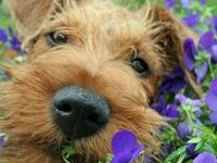 Airedale Airedales dog dogs puppy puppies adorable cute