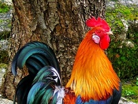 All Creatures Great and Small: Chickens and Roosters