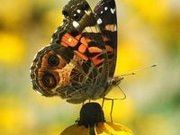 Butterflies, Moths, Dragonflies and Insects