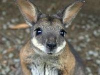 Animals - Marsupials