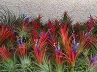 Tillandsia's (Air plants) and Bromeliads