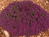 Teucrium   Germandrées / Les germandrées (Teucrium) regroupent environ 260 espèces de plantes herbacées ou de sous-arbrisseaux de la famille des Lamiacées.   On les retrouve un peu partout à travers le monde, mais elles sont particulièrement nombreuses dans le bassin méditerranéenne. Ce sont des plantes stolonifères ou rhizomateuses à feuilles opposées.   Leurs longues floraisons et leurs arômes, souvent très originaux, en font d'excellentes plantes pour le jardin sec.