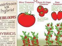 Garden - Tomatoes
