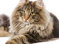 Maine coon cats ❤️ / Love these main coon cats  ❤️ so adorable warm fluffy affectionate and cuddly ❤️ I wanna squeeze and eat them lol just can't get enough of these gorgeous  beauties ❤️