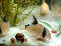 ... images about Corydora on Pinterest Catfish, Pandas and Tropical fish