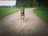 Airedale, King of the Terriers!