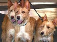 Portuguese Podengo / Terrier on Pinterest | Fox Terriers, Welsh ...