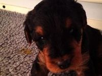 My new #Airedale puppy - she has stole my heart