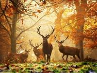 white-tailed deer, mule deer, black-tailed deer, elk, moose, red deer, reindeer (caribou), fallow deer, roe deer and chital