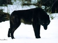Wolves are absolutely magnificent and beautiful.  I'm absolutely obsessed with them!
