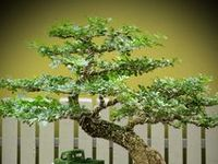 The beautiful Japanese art form of miniature trees grown in containers.
