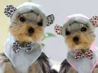 Yorkies Are Angels