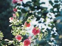 """Le Pouvoir des Fleurs / """"Changer le Monde Changer les Choses avec des Bouquets de Roses"""" Laurent Voulzy"""