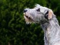 1000 images about dogs on pinterest irish wolfhounds otterhound