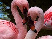 Amazing wildlife - Flamingos