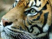 Amazing wildlife - Tigers