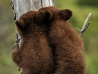 Bears Bears & Bears