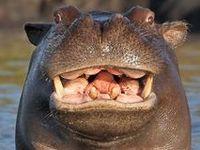 Hip Hop Hippopotamus