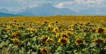 Sunflower Colorado