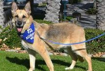 Coastal German Shepherd Rescue / Coastal GSR is dedicated to providing new beginnings for homeless German Shepherds who have been abandoned, neglected, abused, relinquished by their owners or just left at local shelters to await an uncertain future. Visit us at www.coastalgsr.org