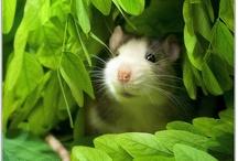 Beautiful Rat Photos
