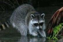 Raccoons Always Intrigue Me
