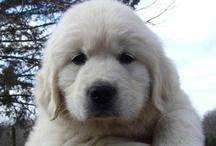 Golden Retriever Pups & Breeders