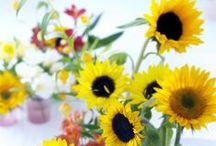 &ZONNEBLOEM / Zonnebloemen, Helianthus, Sunflowers, Tournesol