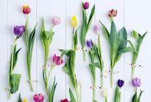 &TULP / Tulpen, tulp, tulip, bloem, bloemen, flower, flowers, tulip