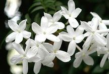Jasmine / Intoxicating jasmine has been used for centuries in the fragrance world. Here, we showcase our favorite photos, facts, and scented candles representing this beautiful floral.  www.candlesoffmain.com