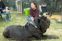 Mastiffs we LOVE!! / by Ann Mccarron