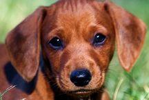 Puppies - Dachshund