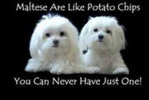 Puppies - Maltese