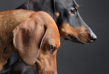 all things doxie / by Stacie Doxey