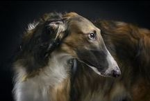Dogs: Borzoi / by Anne Pidek