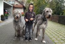 Dogs: Irish Wolfhounds / by Anne Pidek