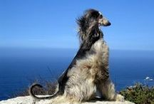 Dogs: Afghan Hound / by Anne Pidek