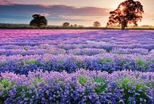 Lavender Purple Violet Lilac / by Peggy Trigg