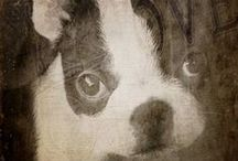 ♥ Boston Terriers ♥ / all about that boston magic
