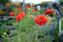 the returning perennial / Perennial – a plant that will return year after year. For year round interest keep perennials in your garden that will bloom each season and come back every year.