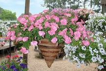 hooked on hanging baskets / Usher in a new season with blooming baskets cascading with spring color.