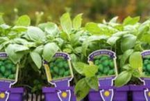 herb is the word / Grow herbs indoor and outdoor to spice up your dining and decor.