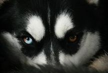 Snow Dogs & Wolves / Reminders of my Snow Dog. I am blessed with the most wonderful Siberian Husky, Helios. He is my companion, running partner, guardian, and best friend. / by Meg S