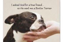 Boston Terriers / by Susan Gendron Huotari