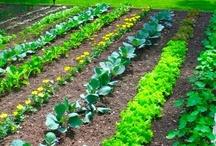 Vegetable Garden / by Diane Yonut