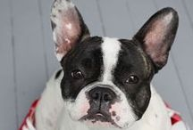 French Bull Dogs and Boston's, frenchbows / by Trish Zenner