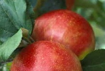 Autumn Fruits and Treats / I love to photograph and illustrate botanicals. Fruits and Vegetables are a part of that.  Lots of tasty results as the plants mature in the fall!  www.cindyrippe.blogspot.com