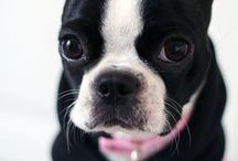 Boston Terrier / The doggy ♥ / by Kate Alia ჱܓ
