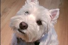 forSam~ThoughtfulSpot  / Sam the Westie. . .named for Samwise Gamgee, stout heart, brave and true, most loyal companion. . .grew up with two kittens. . .and for awhile thought he was one <3 / by Susan Piasecki @ ThoughtfulSpot